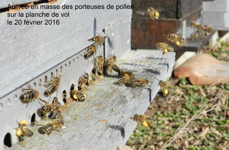 Arrivée-des-porteuses-de-pollen-20-février-2016